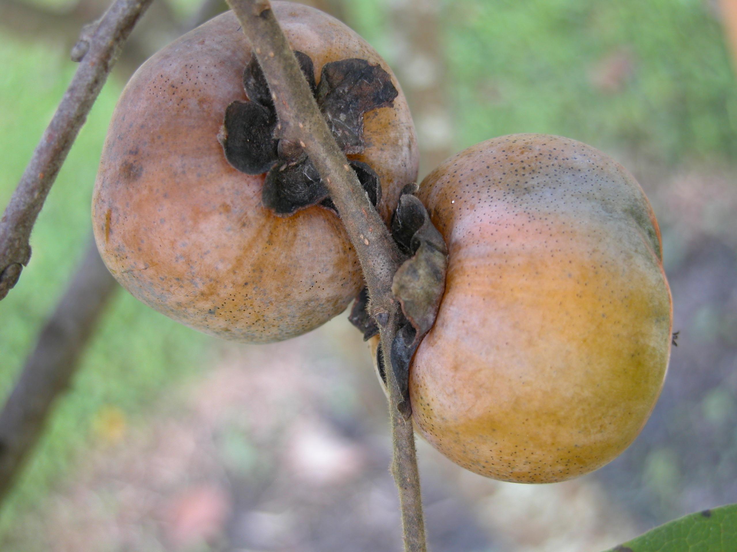 Persimmon trees for sale persimmon trees for sale american persimmon