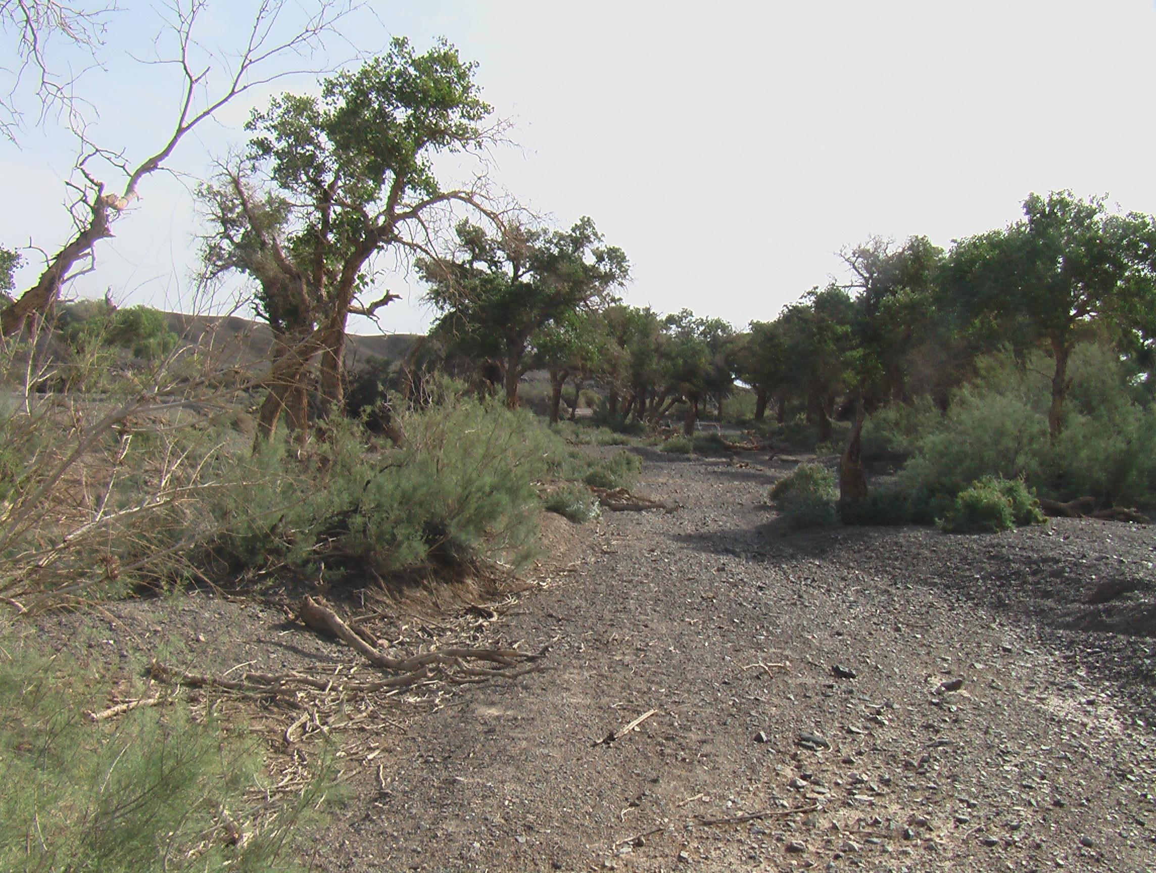 File:Populus diversifolia, Ekhiin-Gol oazis, Shinejinst ...
