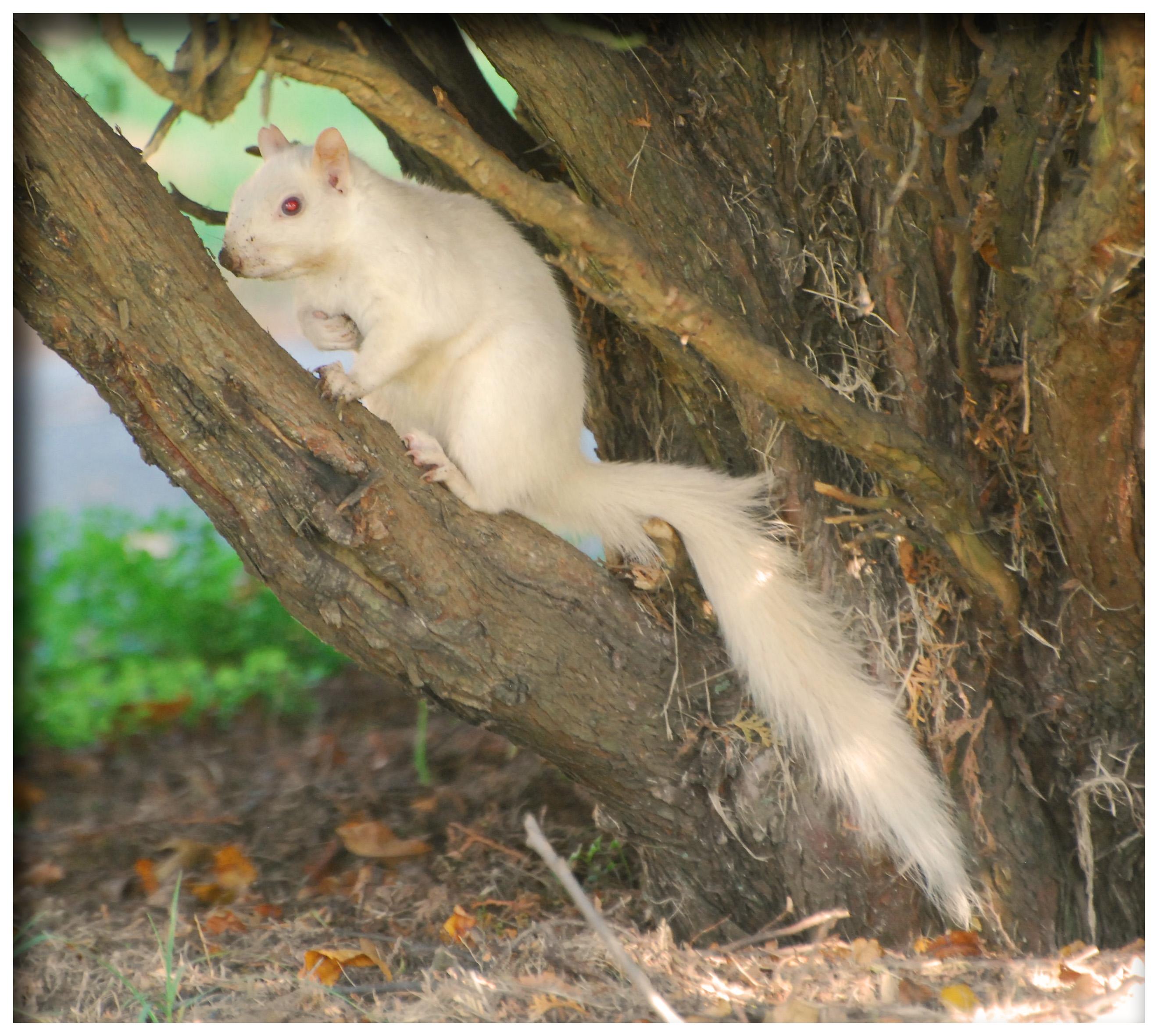File:Rare White Albino...