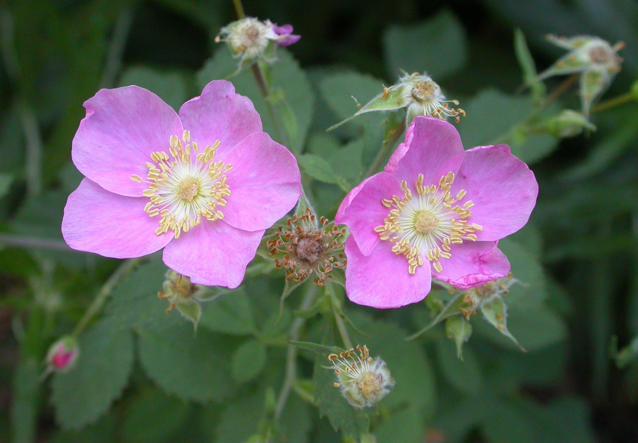 rosa blomma namn