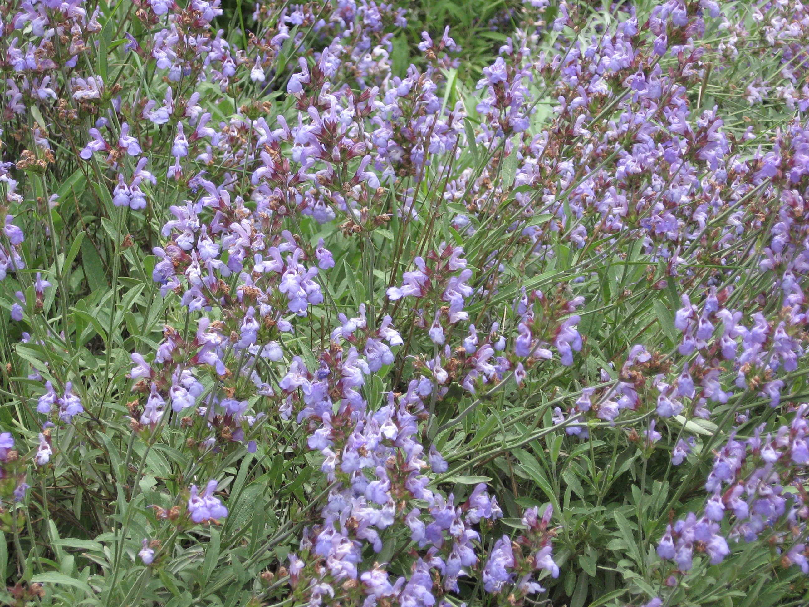 file salvia officinalis     wikimedia commons