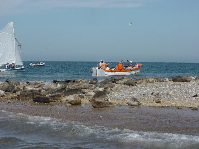 Seals Blakeney Point