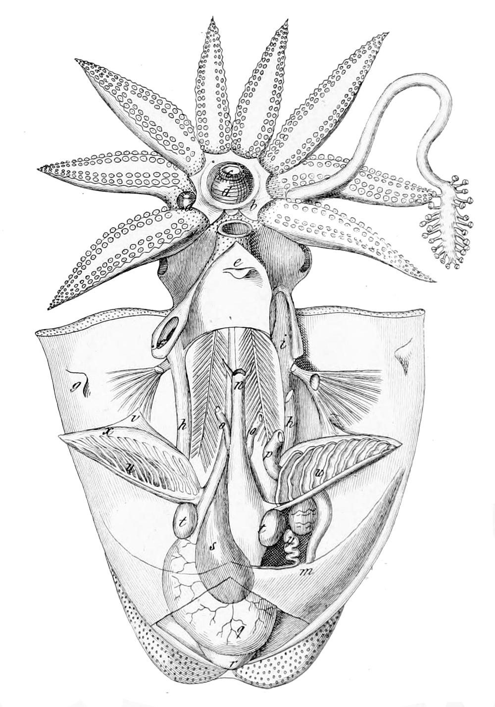 Octopus 3 Herzen