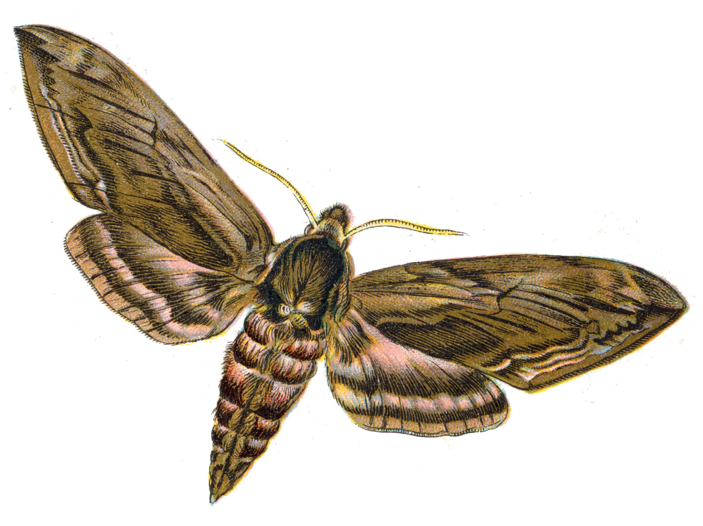 File Sphinx Ligustri Nemos Jpg Wikimedia Commons