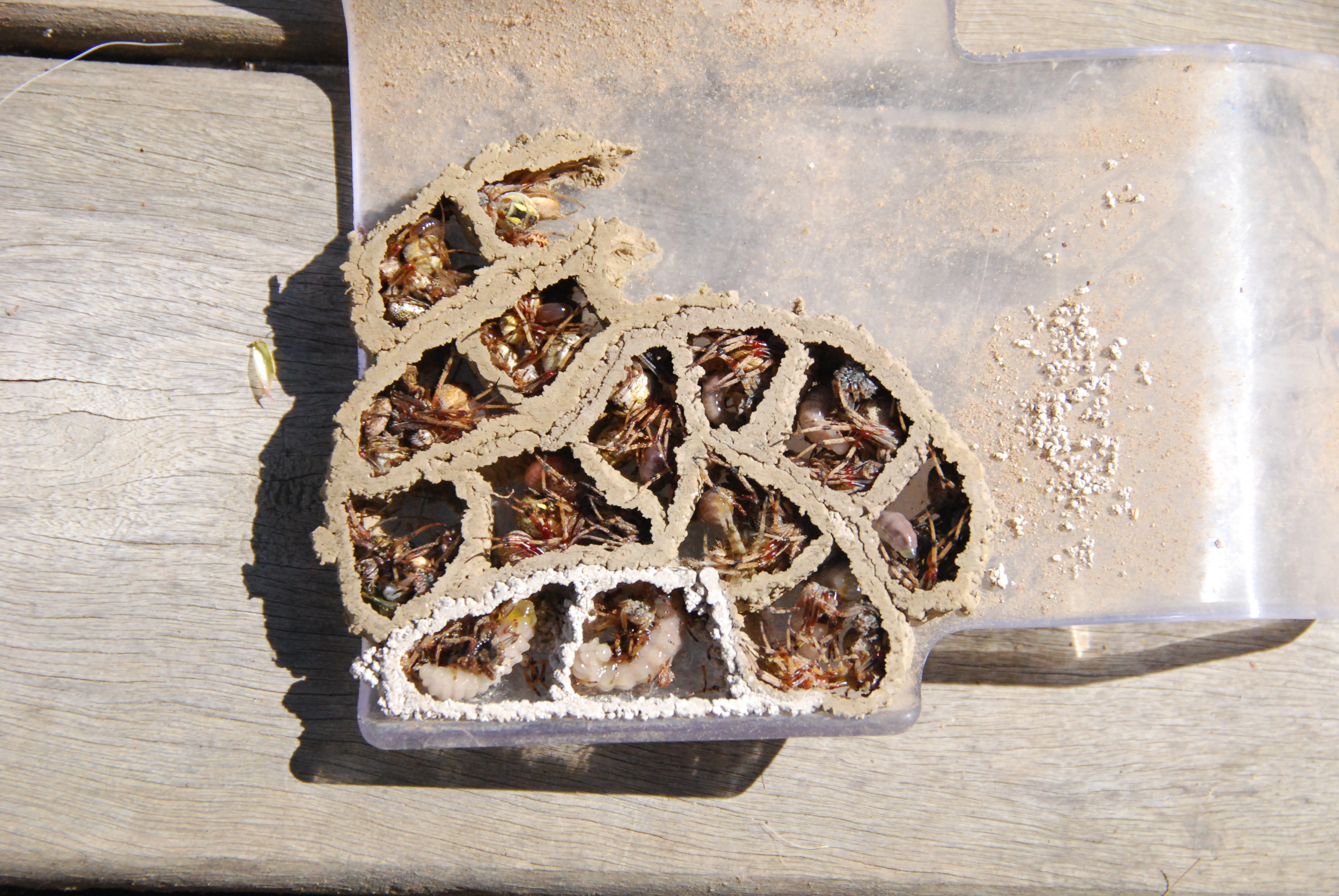 file spider wasp nest with larvae of various ages feeding on spiders