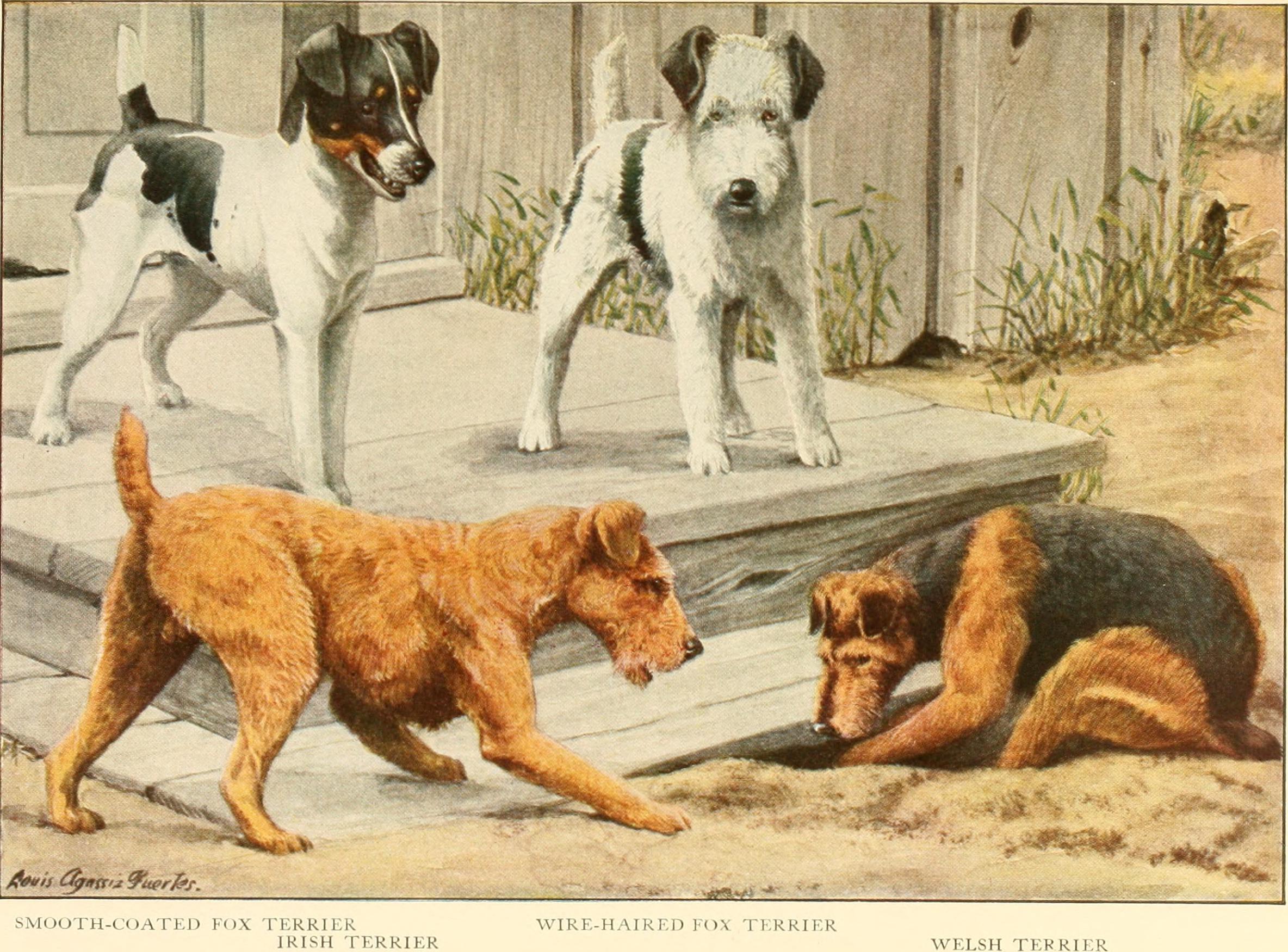 Yorkishire Terrier