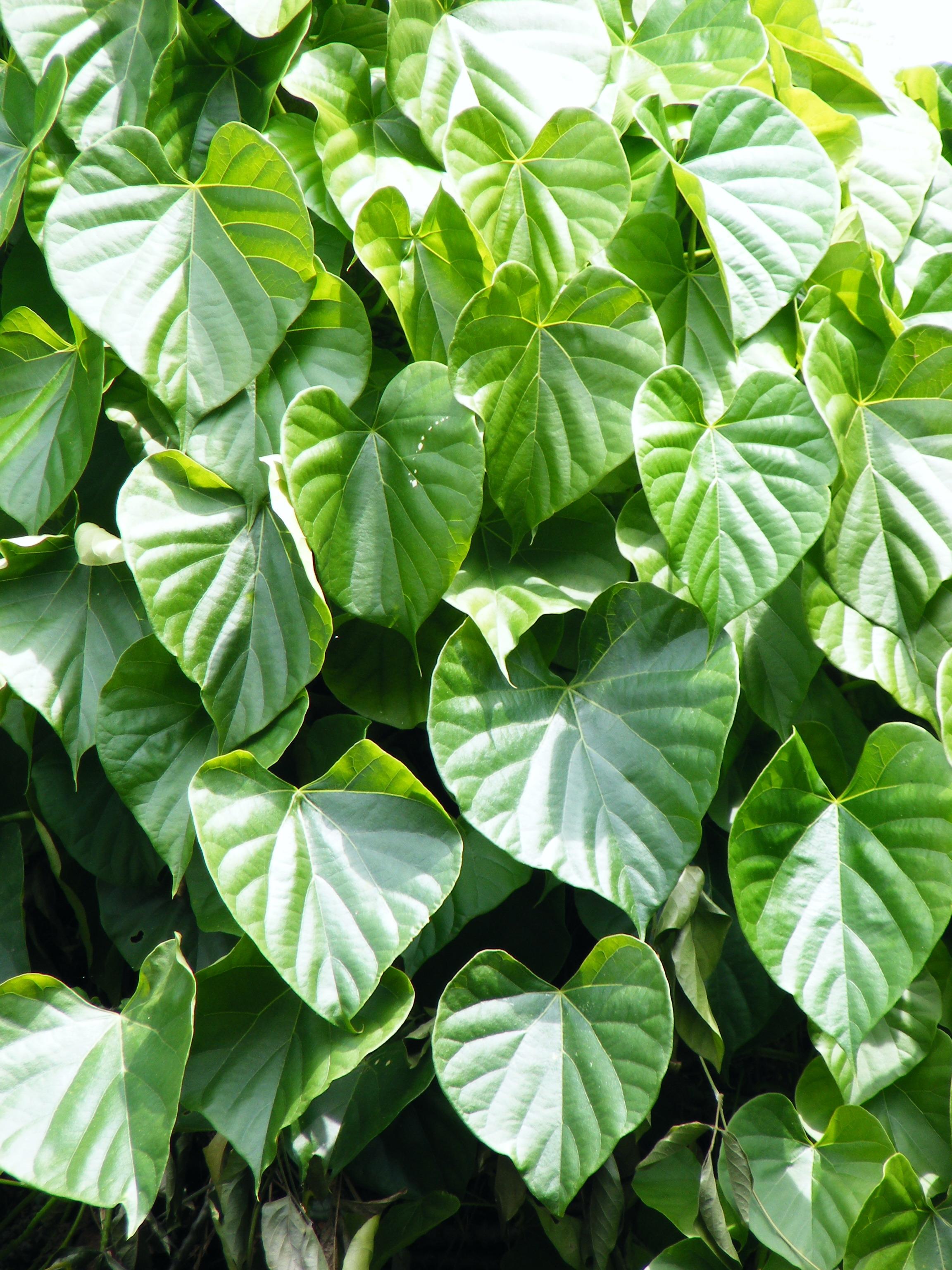 File:Tinospora cordifolia.jpg - Wikipedia