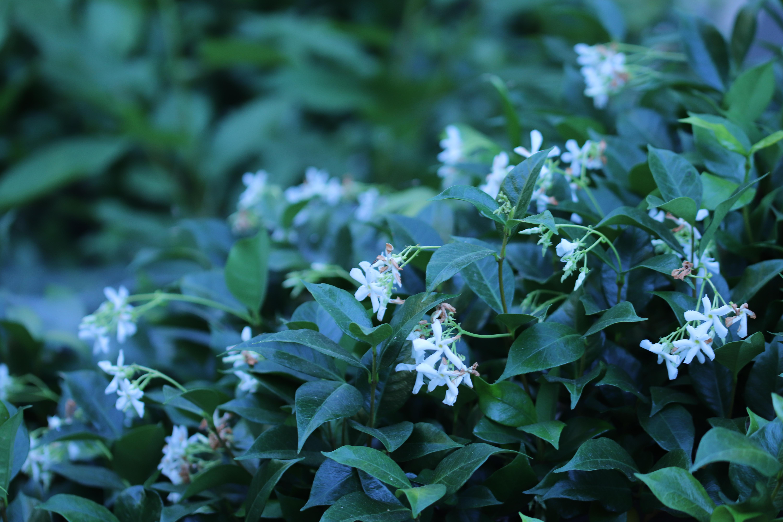 Filetrachelospermum Jasminoides Img 3167 Star Jasmineg