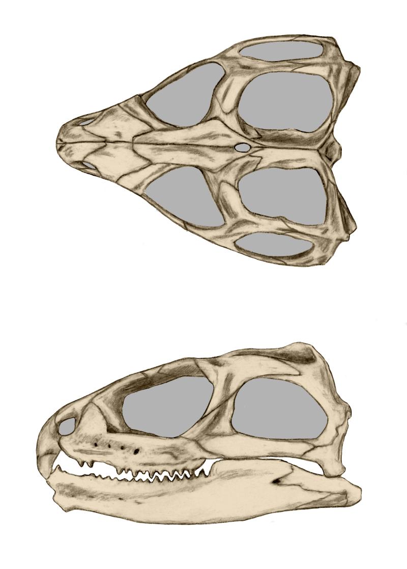 Datei:Tuatara skull.png – Wikipedia