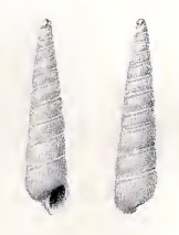 Turbonilla buttoni 001.png