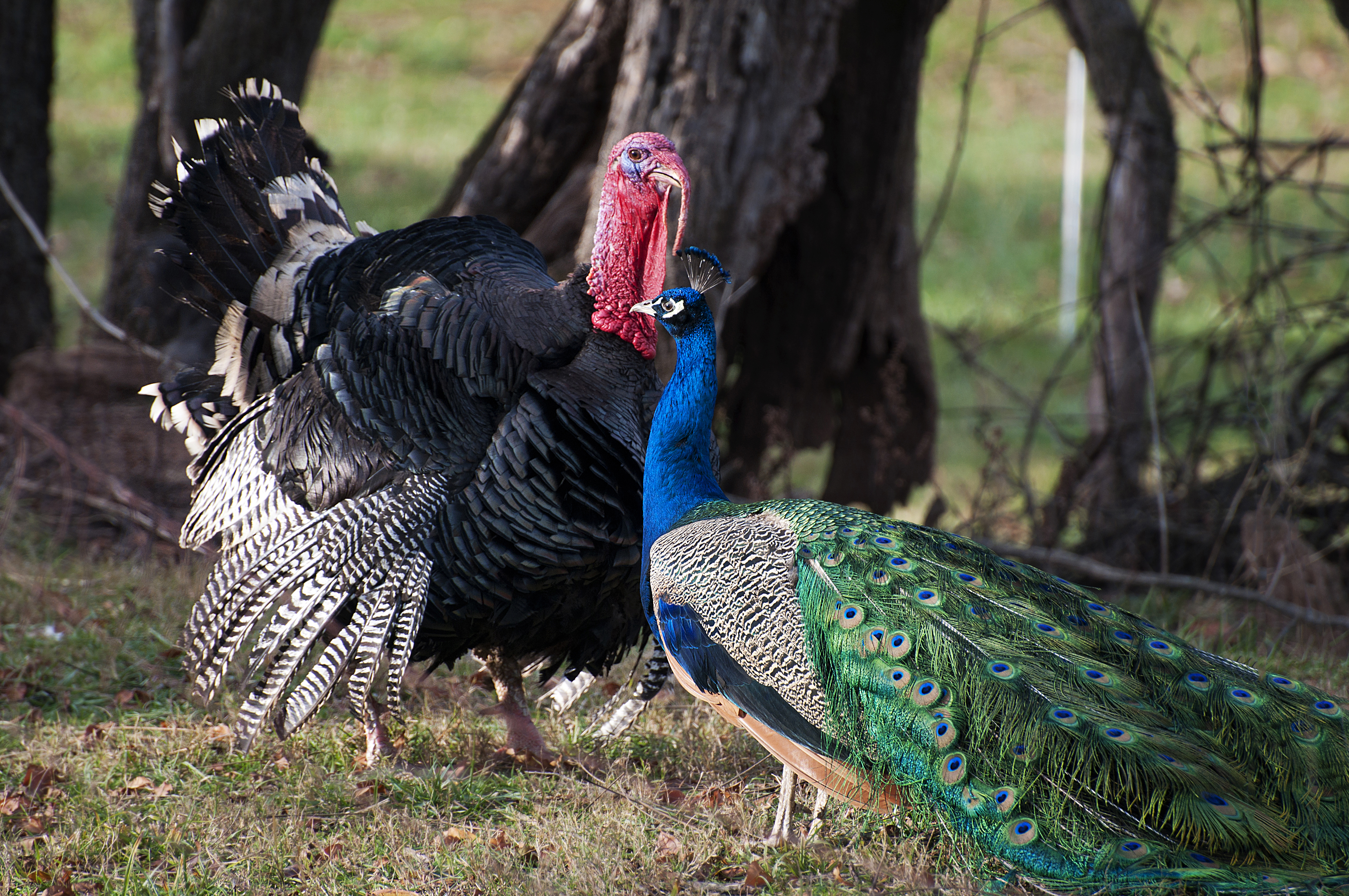 farm sanctuary turkey thanksgiving