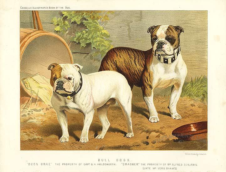 File Vero Shaw Bull Dogs Jpg Wikimedia Commons