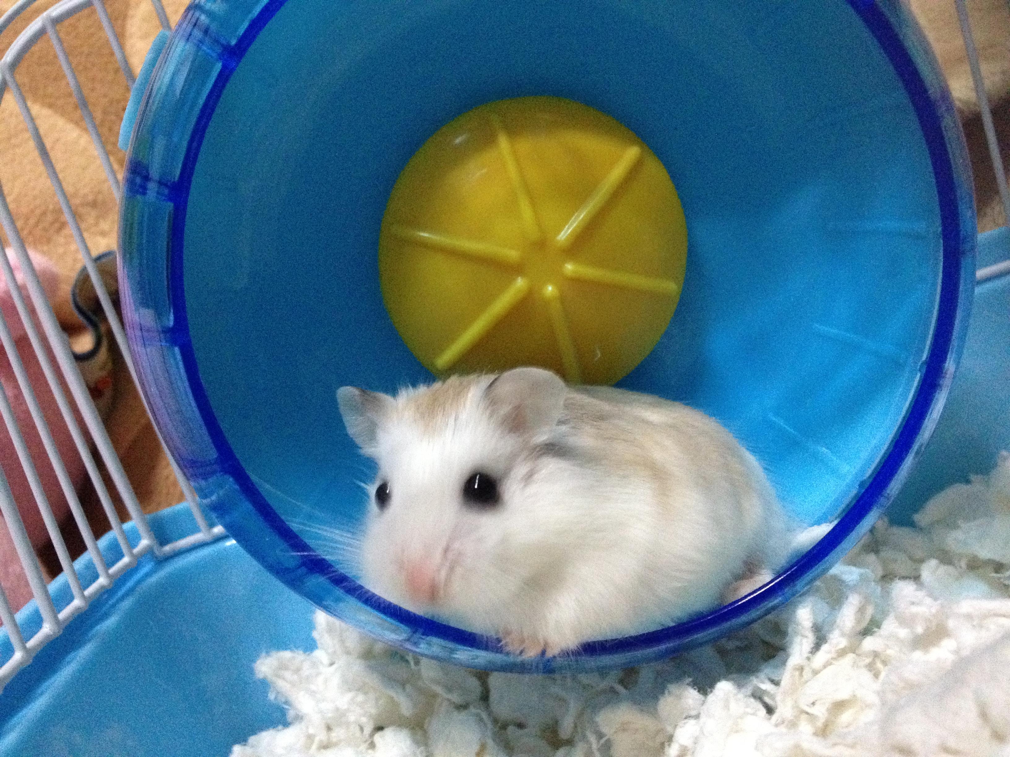 Adult dwarf hamster porno vids