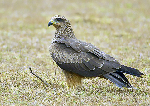 Indian kite bird - photo#5