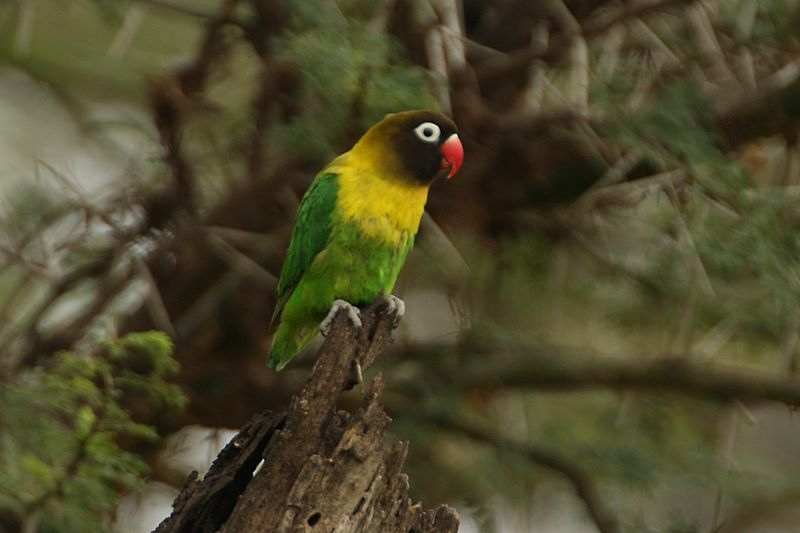 Agapornis personatus (Yellow-collared lovebird)