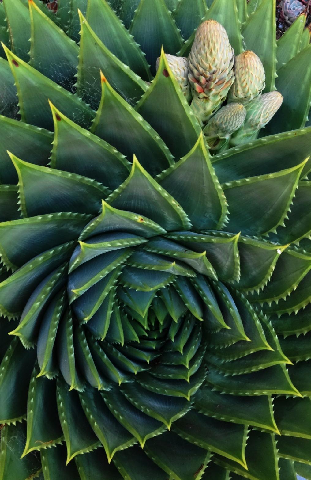 Aloe polyphylla with flower bud