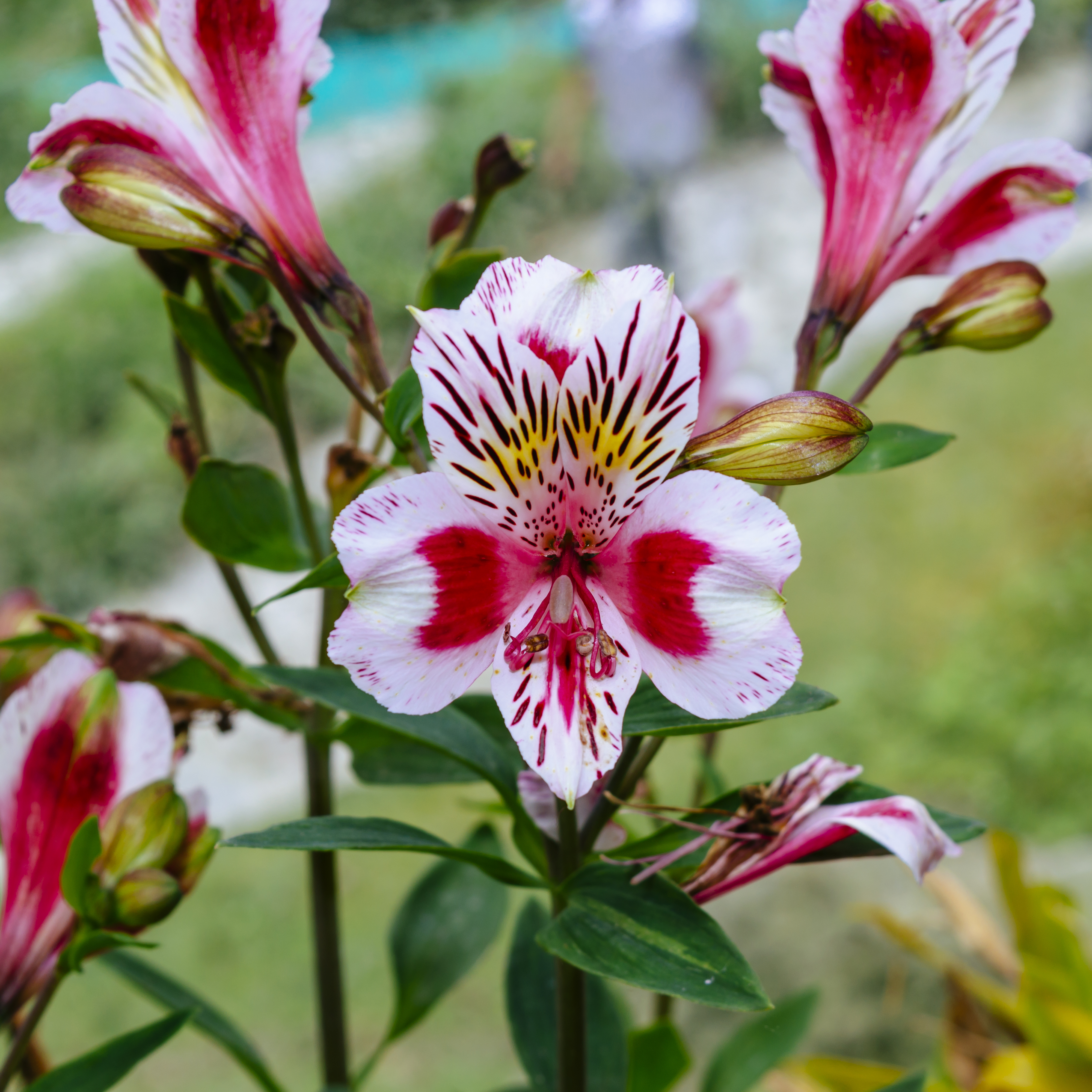 File Alstroemeria Or Peruvian Lily Or Lily Of The Incas Jpg Wikimedia Commons