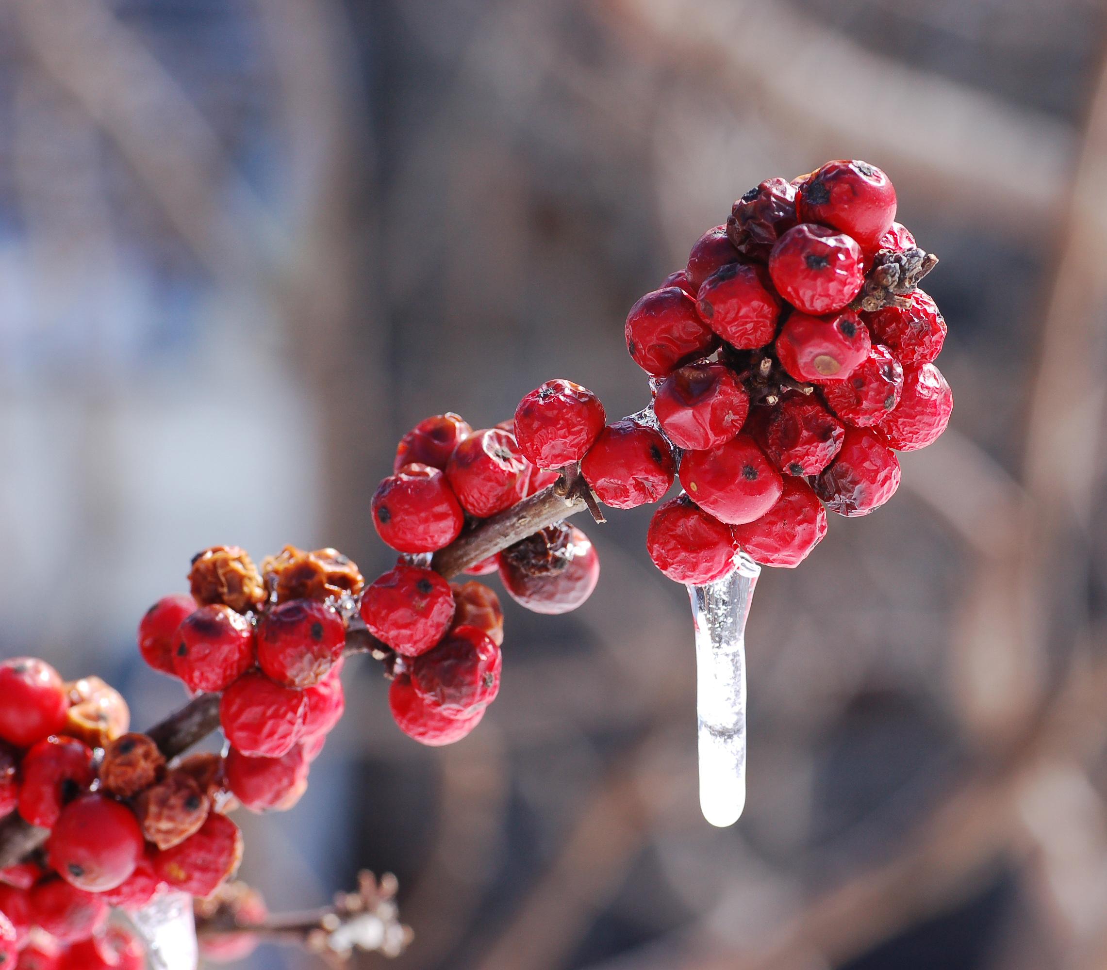 File:American Winterberry Ilex verticillata 'Winter Red ...