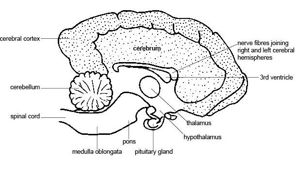 Anatomy and physiology LS dog's brain.JPG
