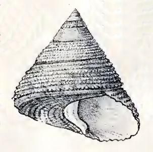 <i>Astele</i> Genus of gastropods