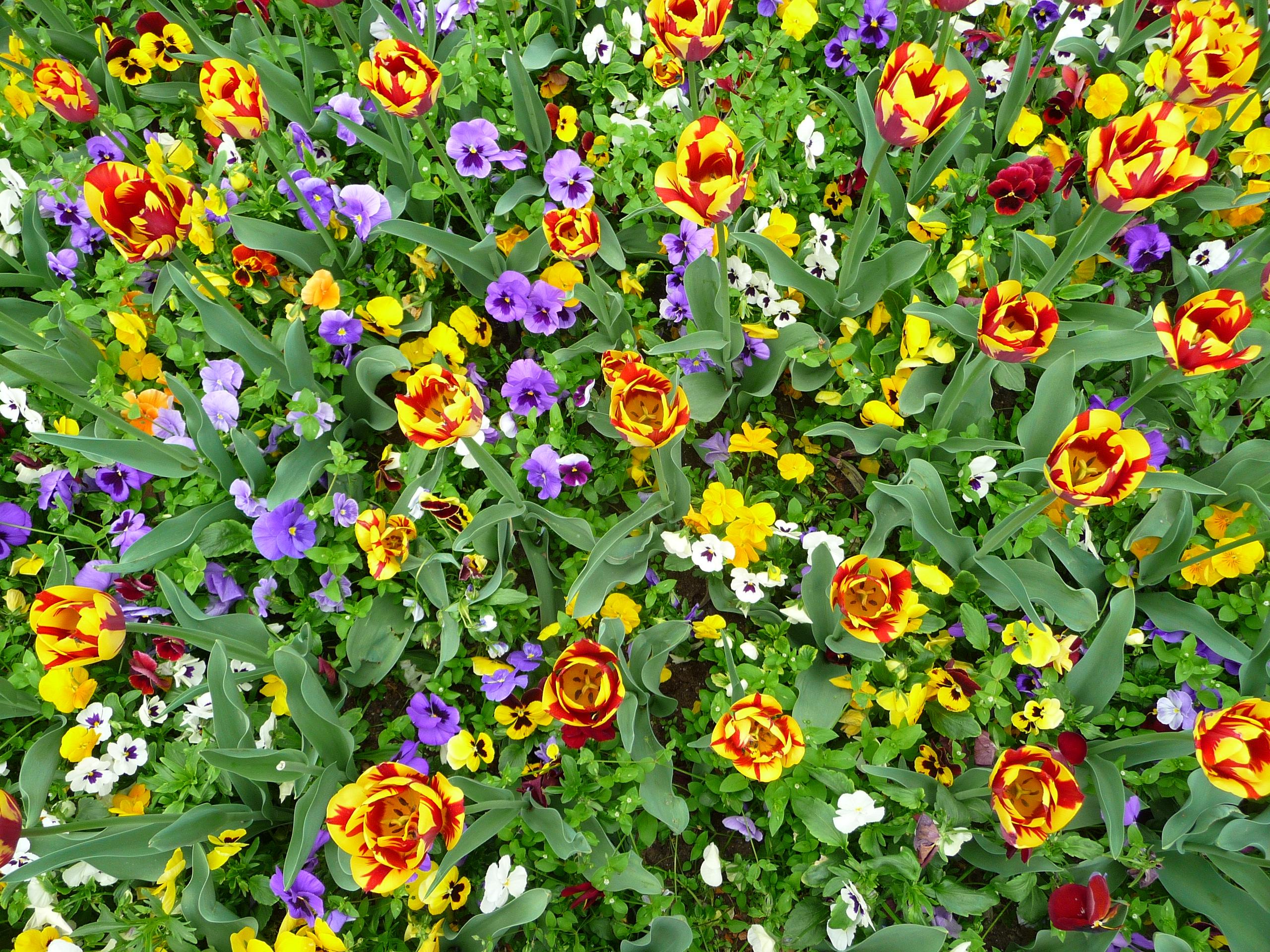 Beet mit Tulpen und Stiefmütterchen.JPG