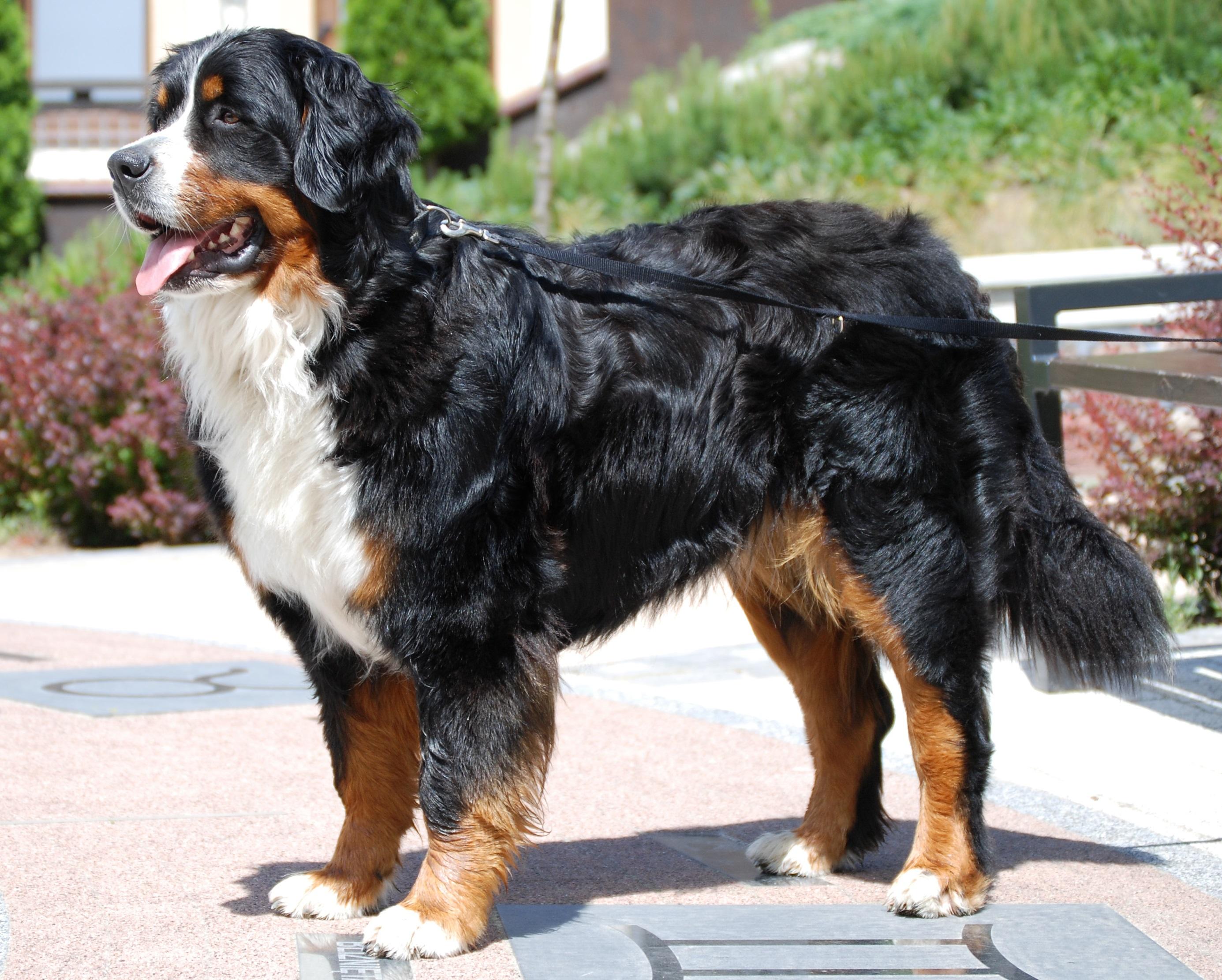 Bernaise Mountain Dog Rescue Texas