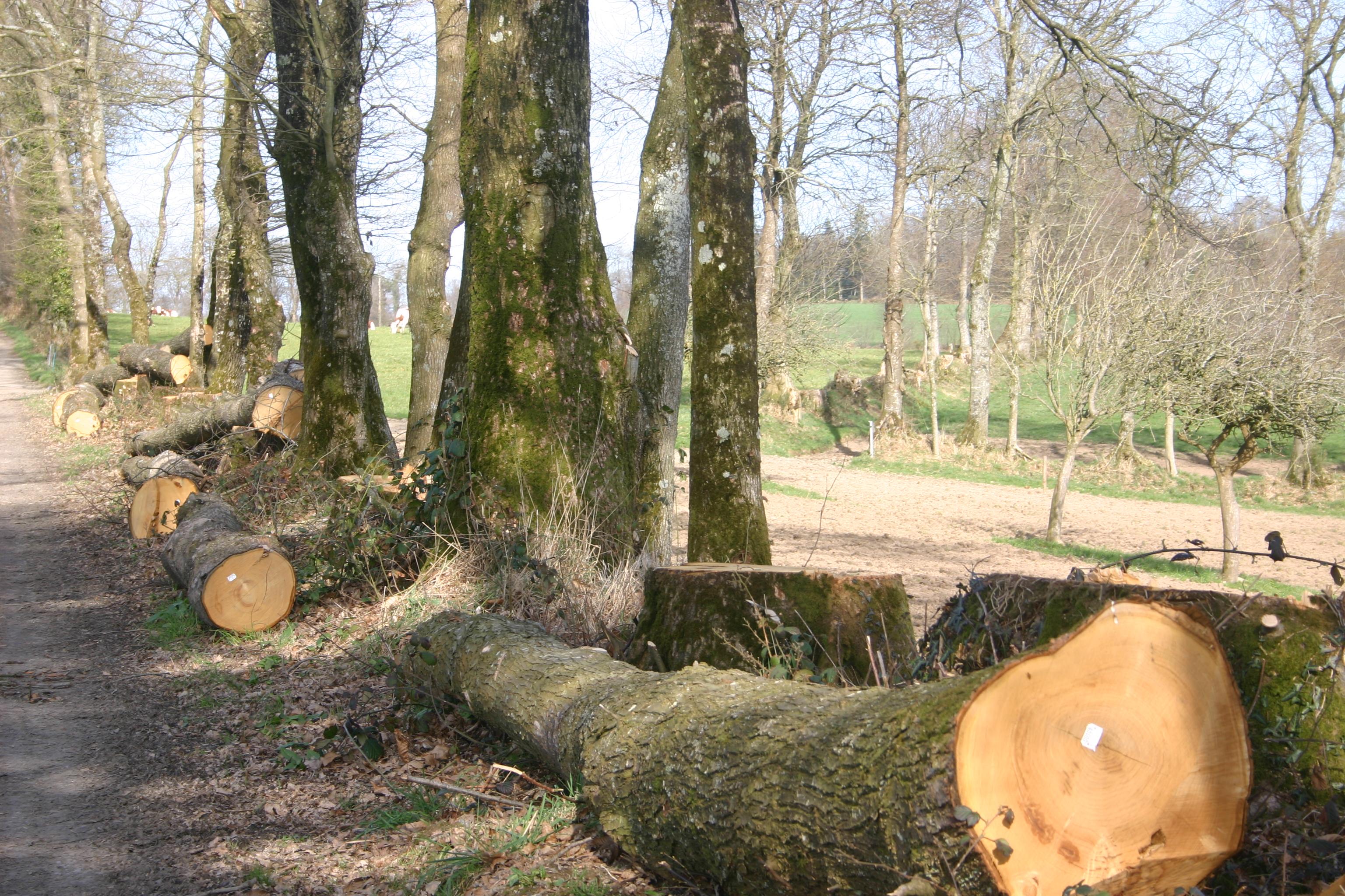 FileBille de bois de châtaignier fraichement abattujpg  Wikimedia  ~ Bille De Bois Synonyme