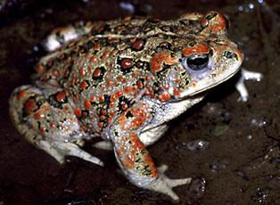 Boreal toad subspecies of amphibian