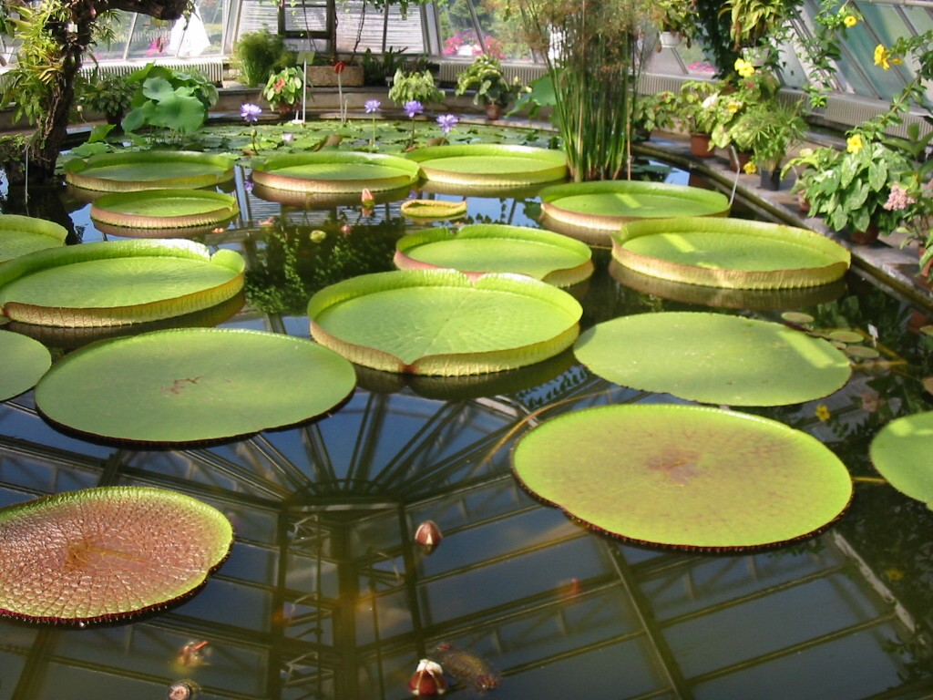 Datei:Botanischer Garten Berlin Viktoria-Seerosen 2.jpg ...