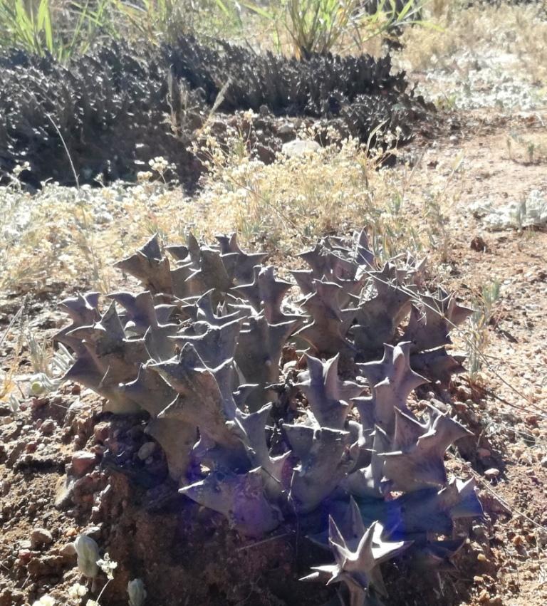 File:Botswanan Stapeliads   Gaborone Nat Bot Gardens Orbea Huillensis