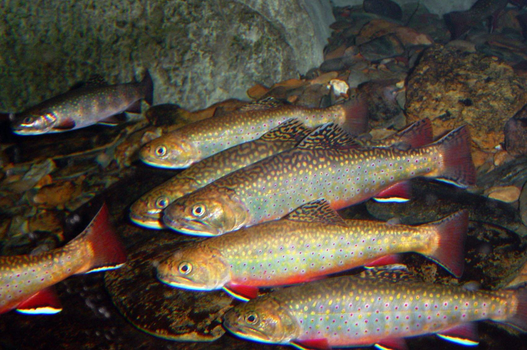 File brook trout in cool water 7725114898 jpg for Maine fish wildlife