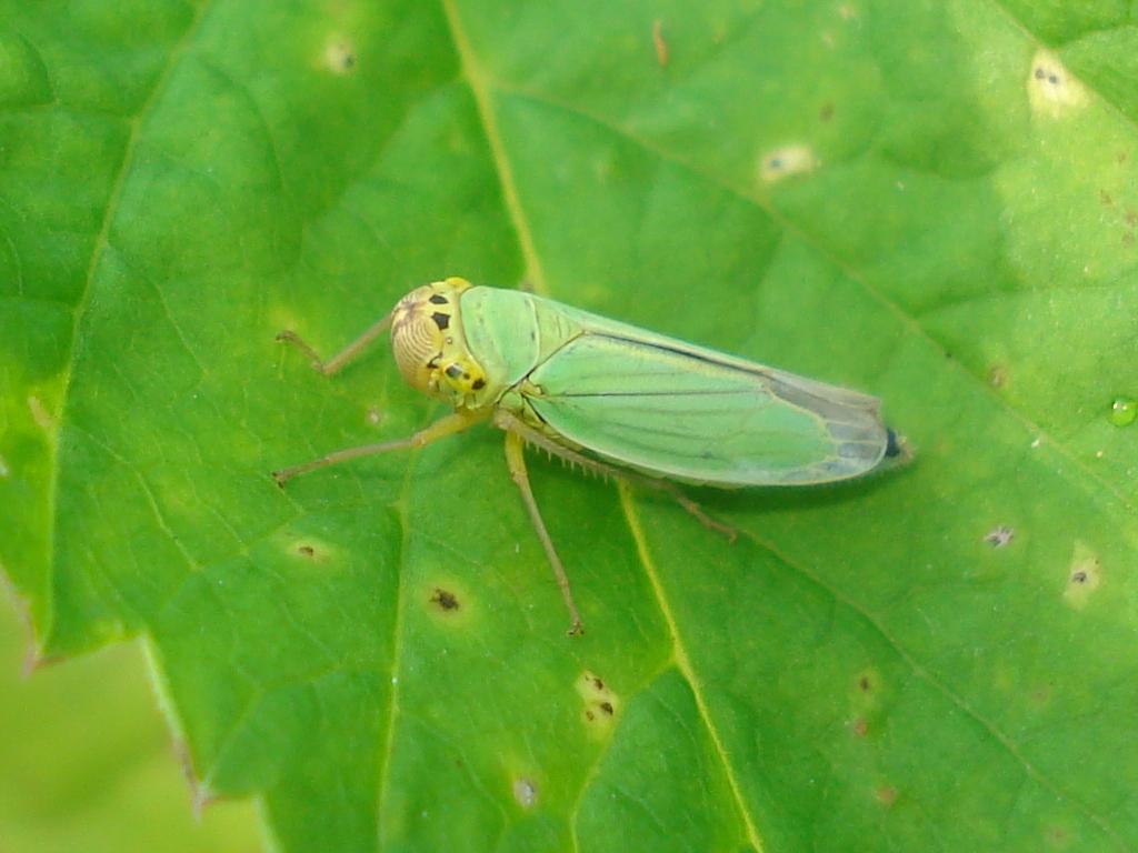 цикадка зеленая (фото)