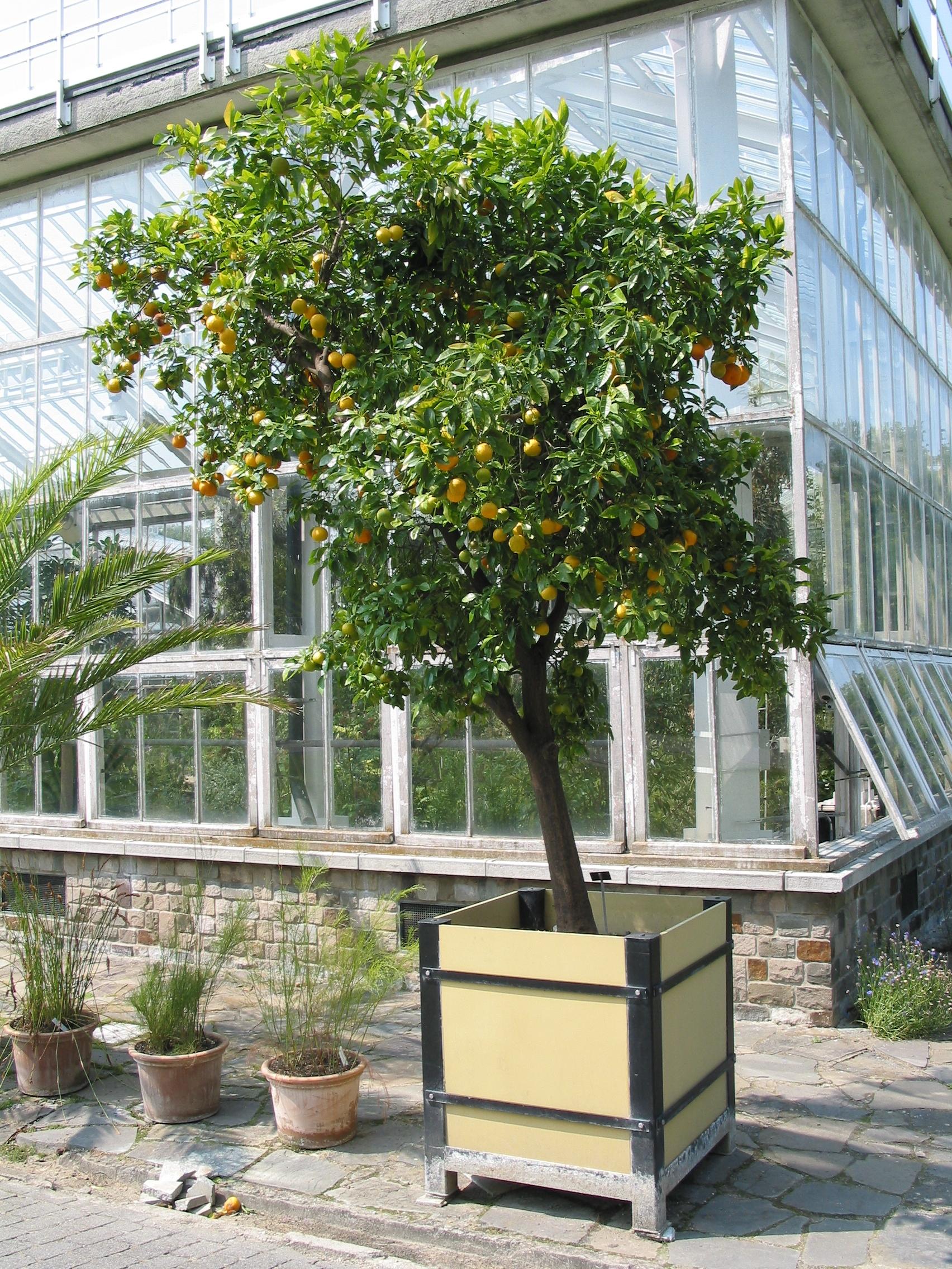 Citrus Sinensis Distribution File:citrus Sinensis Meise
