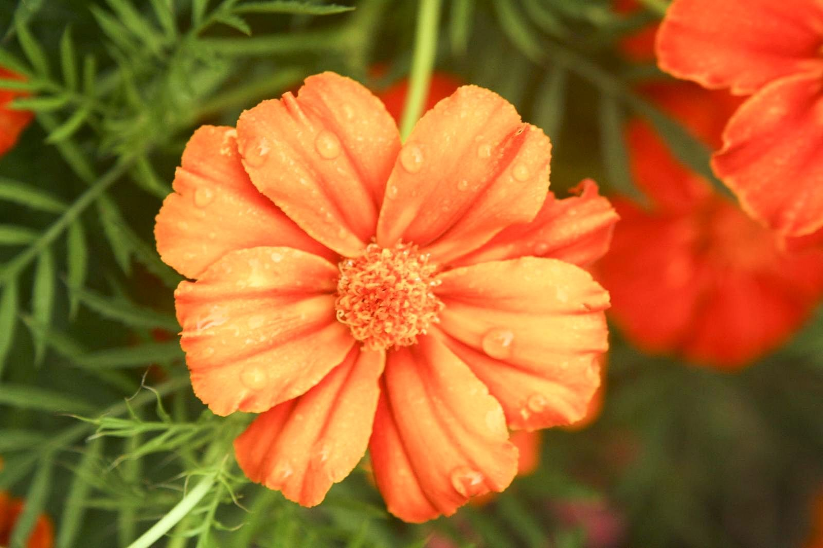 fileclose up of orange flower  wikimedia commons, Natural flower