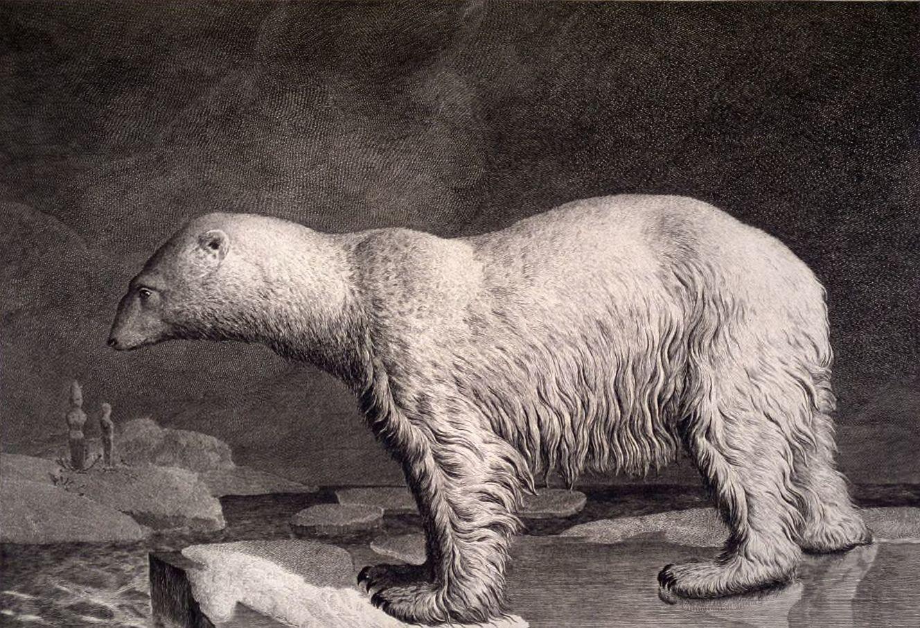 File:Dessin ursus maritimus ours polaire grand.jpg - Wikimedia Commons