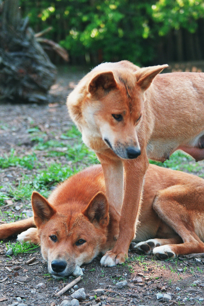 Can Dingoes Breed With Dogs