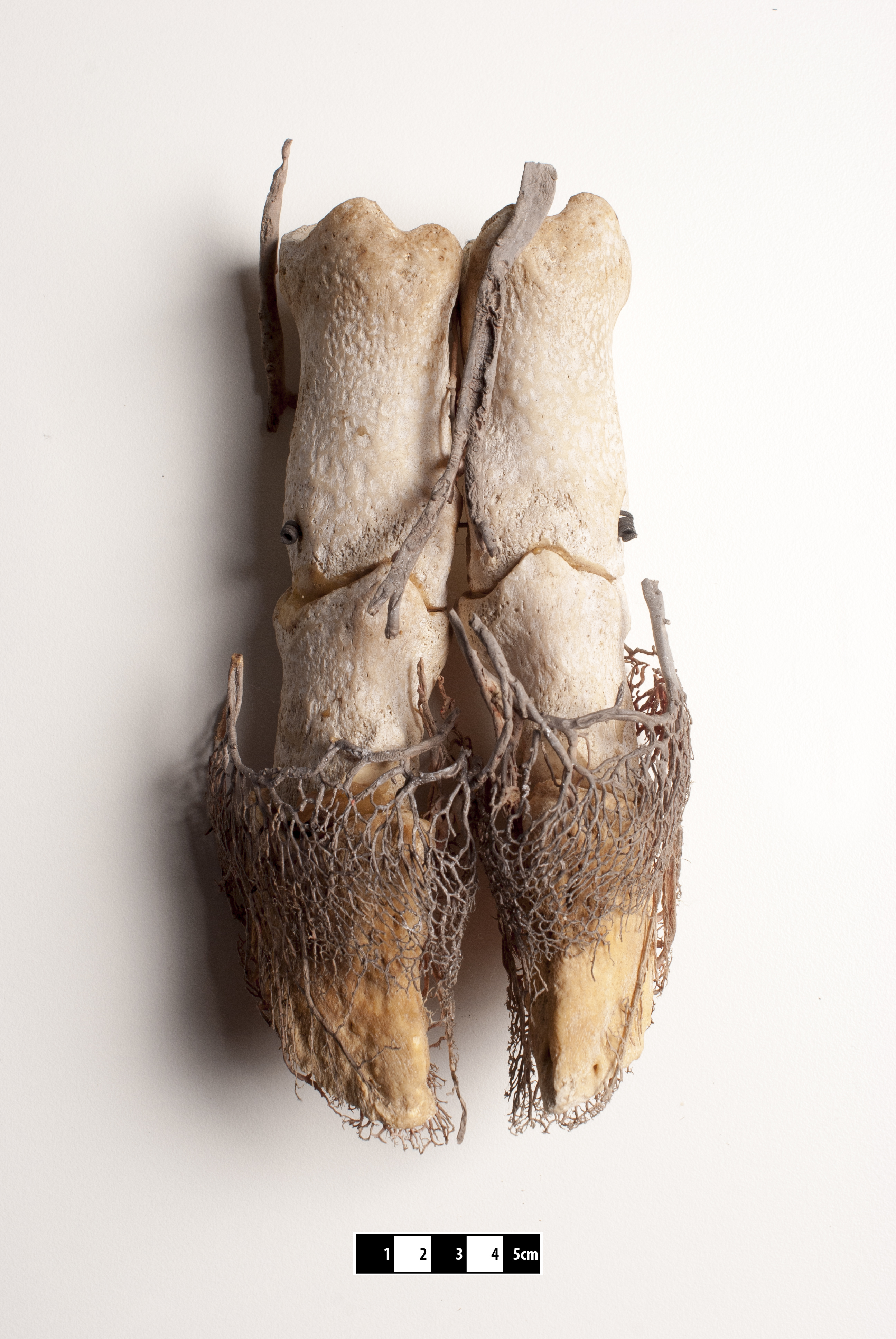 File:Domestic pig anatomy.jpg - Wikimedia Commons