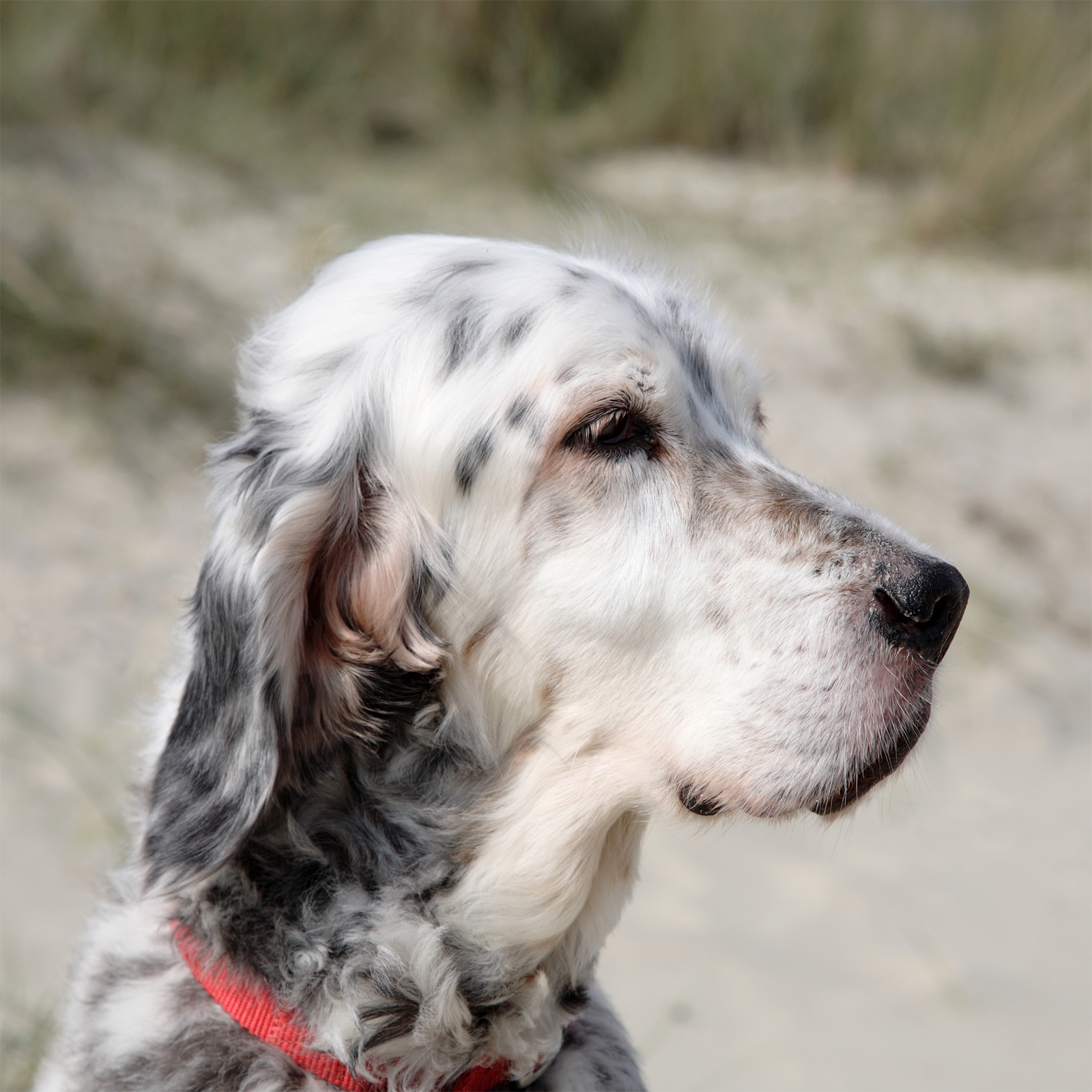 English Setter Dog Shows In Ri May
