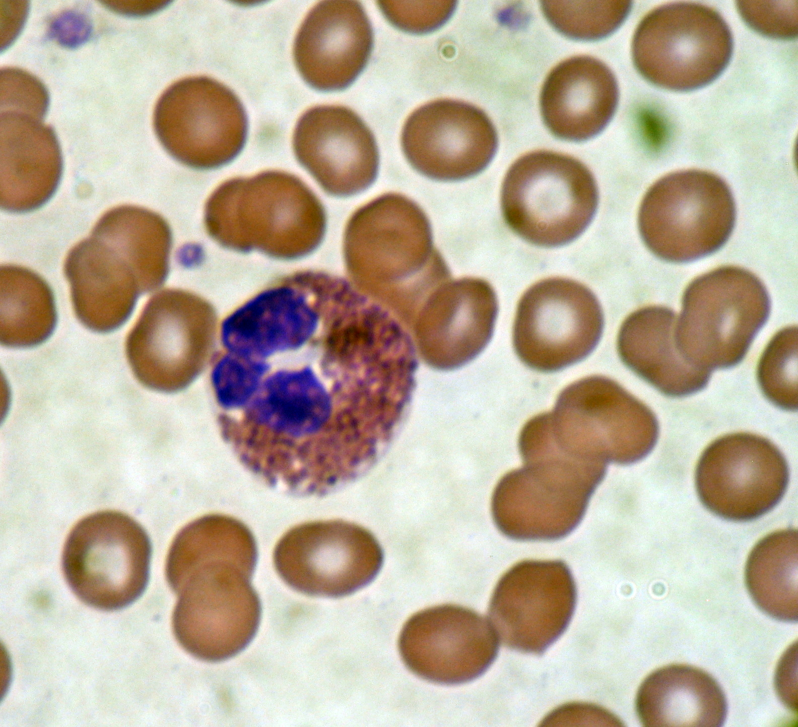 Red Blood Cell Eosinophil Microscope Slide