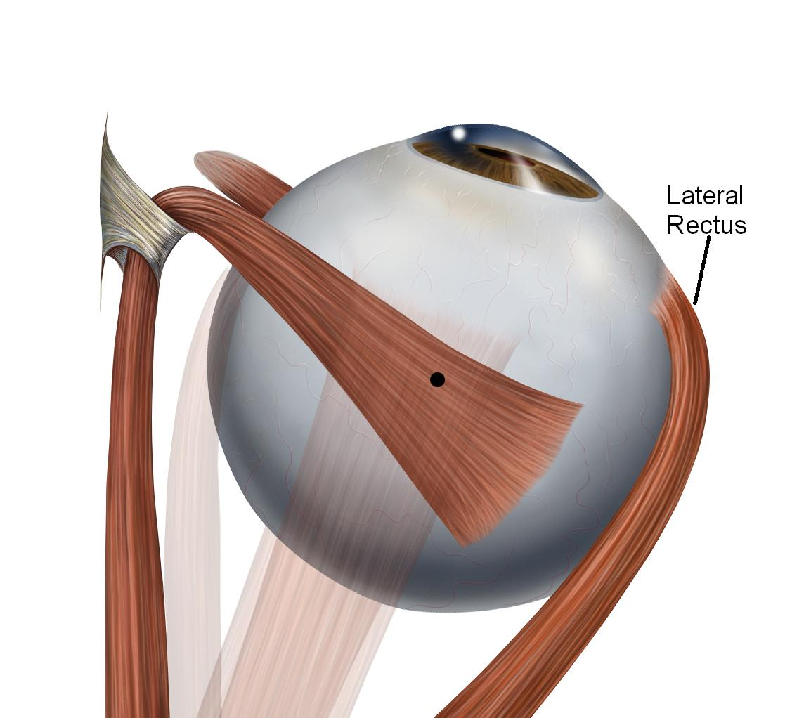 Lateral rectus muscle - Wikipedia
