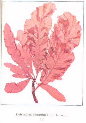 file fmib 53598 rhodophycees ou floridees algues rouges
