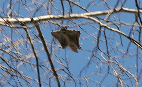 پرونده:Flying squirrel in a tree.jpg