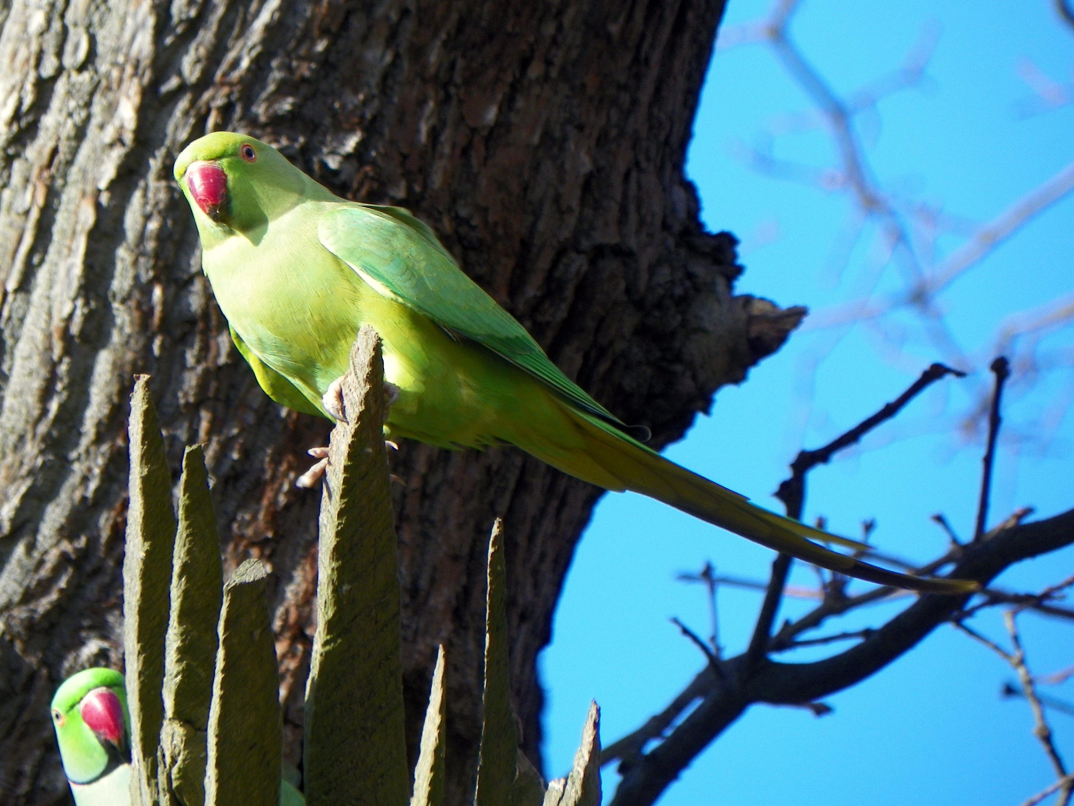 File:GOC Richmond 172 Ring-necked Parakeet (Psittacula krameri)  (14687663324).jpg - Wikimedia Commons