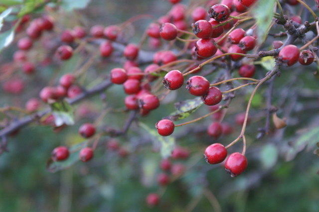 File:Hawthorn berries, Halligarth, Baltasound - geograph.org.uk - 1490501.jpg