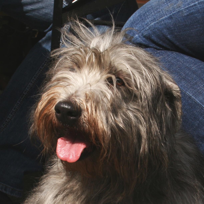 Fileirish glen of imaal terrier pl3g wikimedia commons fileirish glen of imaal terrier pl3g thecheapjerseys Image collections