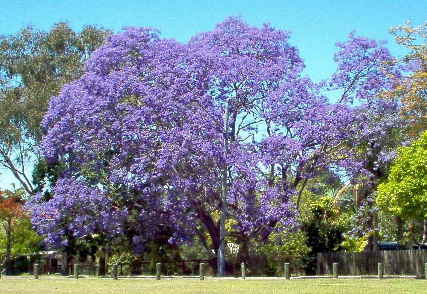 http://upload.wikimedia.org/wikipedia/commons/0/0f/Jacarandatree.jpg