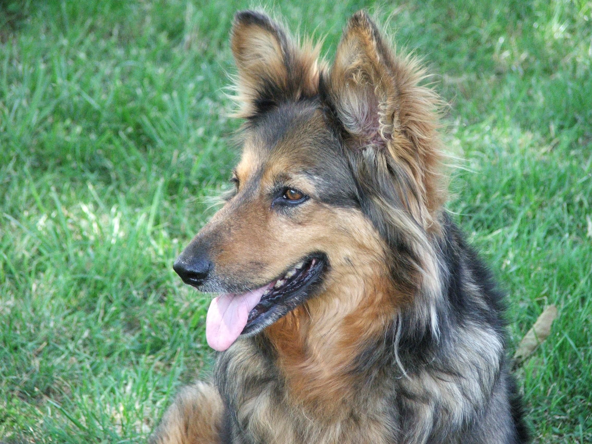 Langhaariger Schoßhund