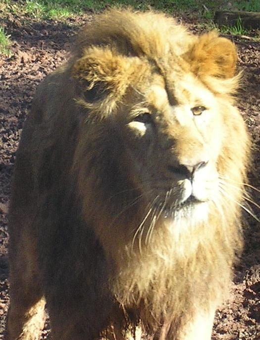 Male Lion at the Zoo