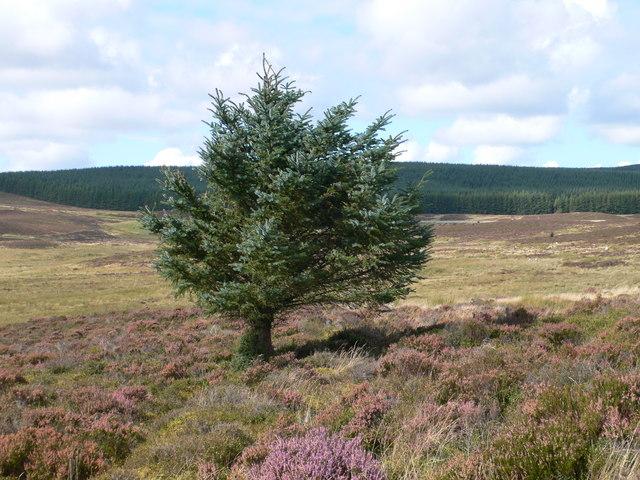 Lone tree on Gors Maen Llwyd - geograph.org.uk - 982491