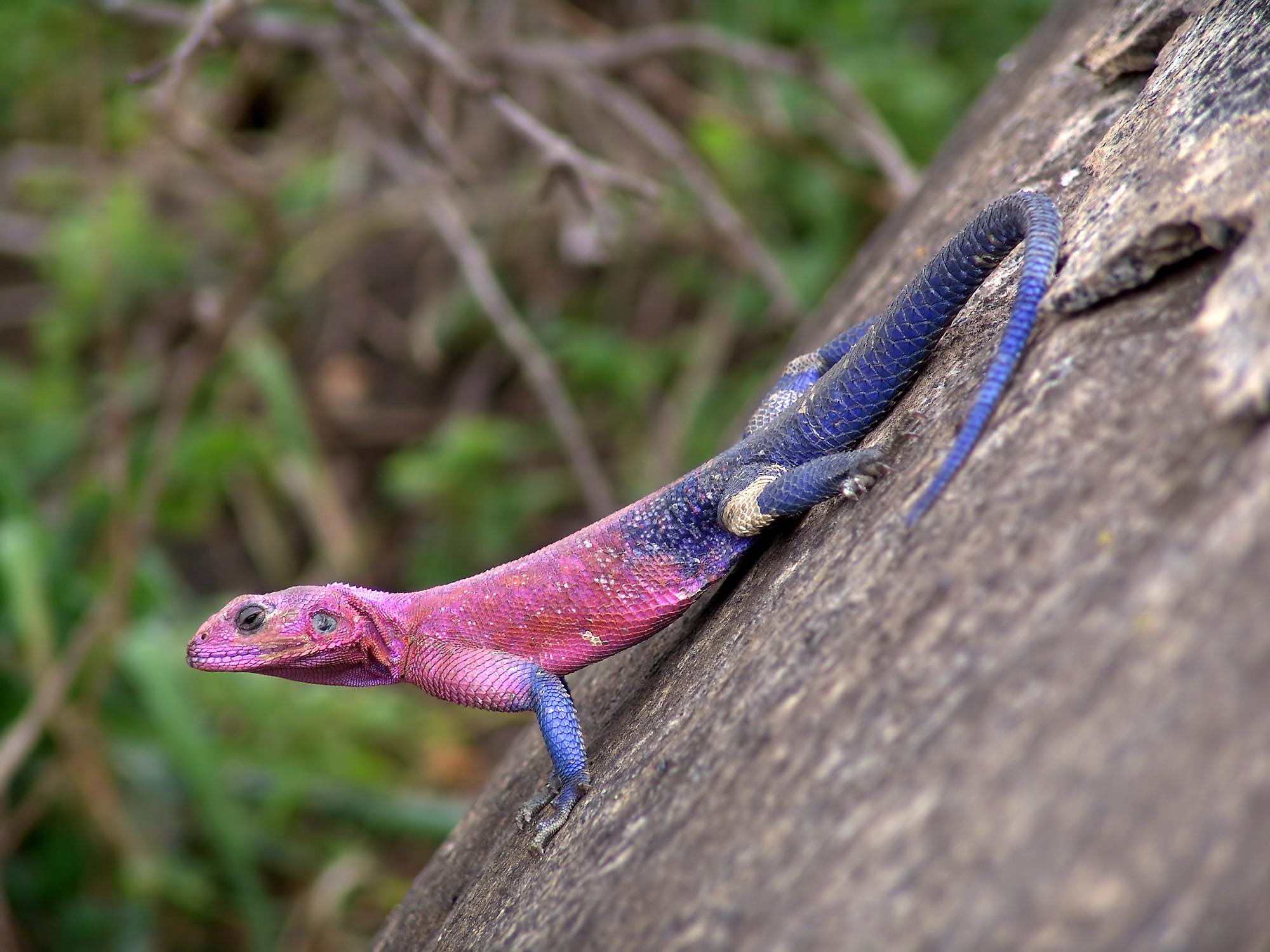Agamidae Wikipedia